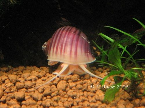 20 best ideas about aquarium snails on pinterest plant for How to get rid of snails in fish tank