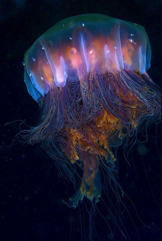 .~Lion's Mane Jellyfish (Cyanea capillata) – the largest known species of jellyfish. The largest recorded specimen found, washed up on the shore of Massachusetts Bay in 1870, had a bell (body) with a diameter of 7 feet 6 inches (2.29 m) and tentacles 120 feet (37 m) long~. @adeleburgess