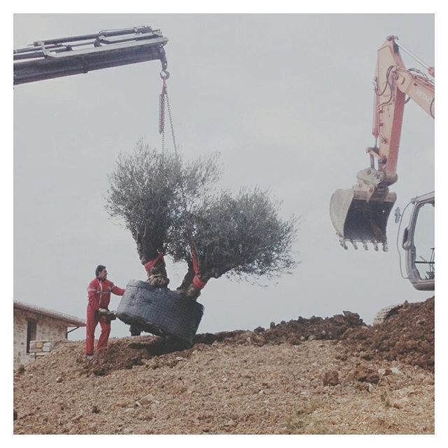 These olive trees have seen a lot in their time... some we are transplanting today are over 800 years old... // #wiseoldtrees #olives #umbria #italia #landscapearchitecture #landarch #design #trees #designstudio #italy 📷@philip_vida