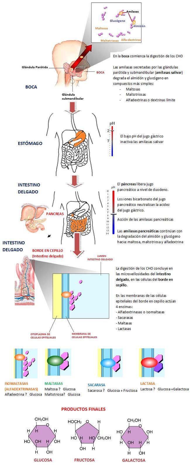 digestion hidratos carbono