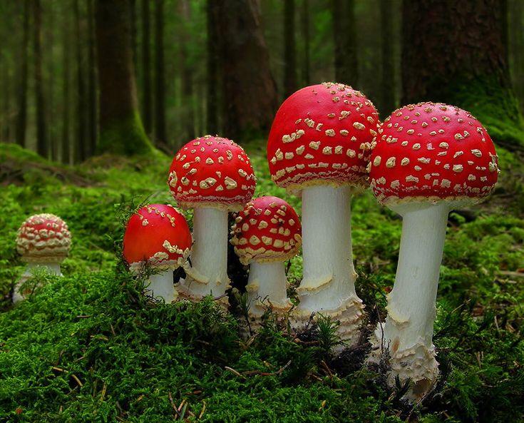 Amanita muscaria: Amanita Muscaria, Magic Mushrooms, Red, The Smurfs, Alice In Wonderland, Design Bags, Mario Bros, Super Mario, Natural