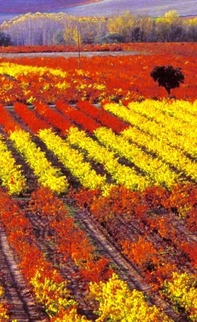 Beautiful colours of vineyards in Rioja during Autumn