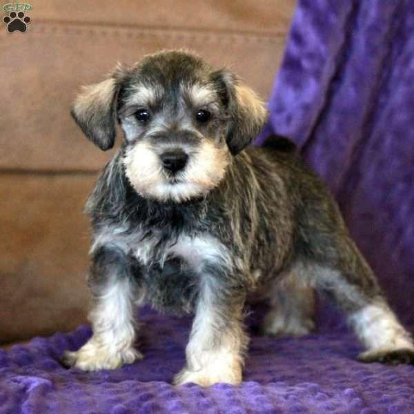Abigail Miniature Schnauzer Puppy For Sale In Pennsylvania Miniature Schnauzer Puppies Miniature Puppies Puppies