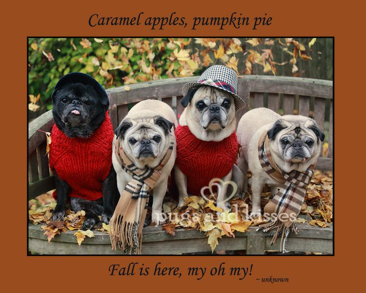 Whole Pug Gang Falling leaves Caramel apples by Pugs and Kisses