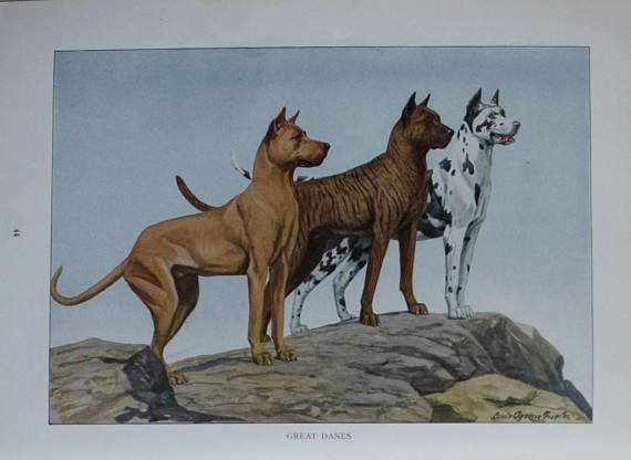 Antieke Prent Hond Deense Dog 1927 Great Dane Dogs Dane Dog