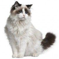 #dogalize Razas Felinas: Gato Ragdoll características y carácter #dogs #cats #pets