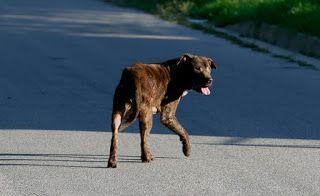 """""""O Grito do Bicho"""": Dallas contra cachorros na rua depois que pitbulls..."""