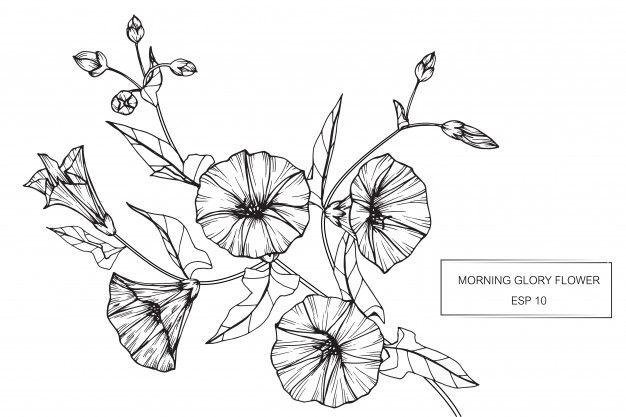 Morning Glory Flower Morning Glory Flowers Morning Glory Tattoo Flower Drawing