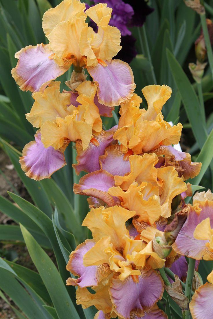 90 best iris images on pinterest iris garden beautiful flowers tall bearded iris grand canyon sunset izmirmasajfo Choice Image