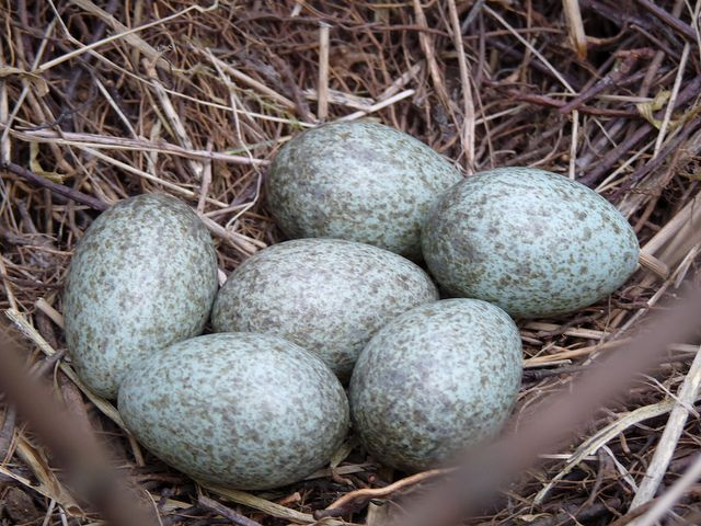 magpie eggs - Google Search