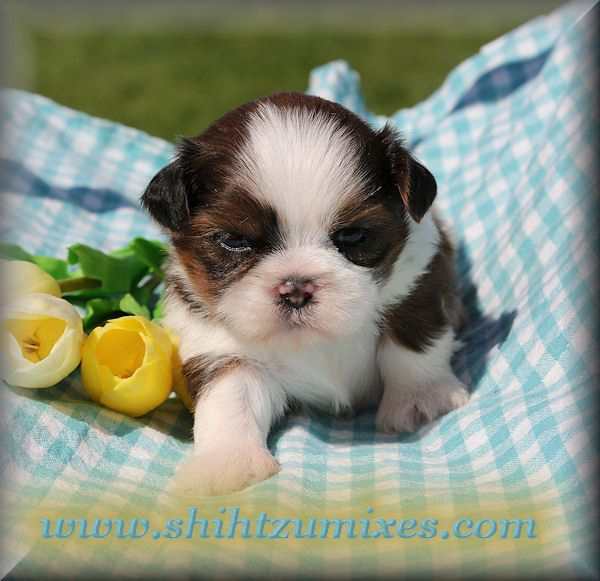 Pin On Shitzu Puppies
