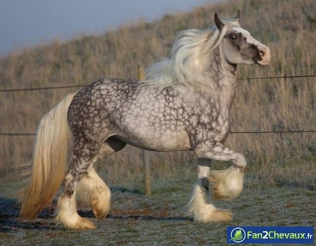 Dapple Grey Gypsy Vanner Horse | Un cheval de rêve! : Photos de chevaux sauvages