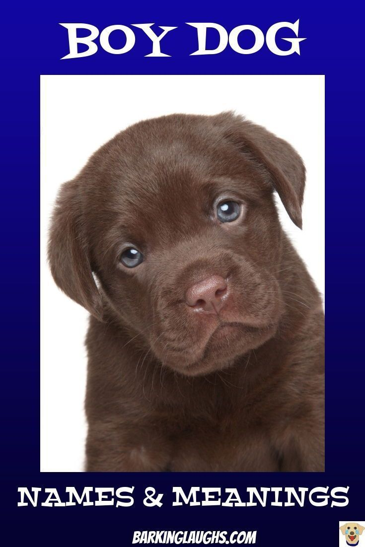 The Ultimate Boy Dog Names And Meanings Post To Help You Name Your Puppy Cute Chocolate Labrador Puppy Dognames Boy Dog Names Dog Names Labrador Retriever
