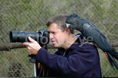Photographer-friendly Australian fauna . An Australian red-tailled black cockatoo sits on the shoulder of this photographer, seemingly giving advice on how to improve his photos, as a native assistant.                                . Photograph By Colin G Radford #WildlifePhotography