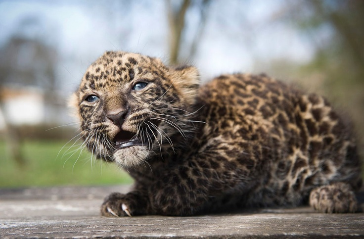 The four-week-old leopard cub Imoo sits at Nyiregyhaza Animal Park in Nyiregyhaza, 227 kms northeast of Budapest, Hungary, on April 5, 2012. The cub's name means darkness in Swahili. Imoo's parents have lived in the zoo since 2007.