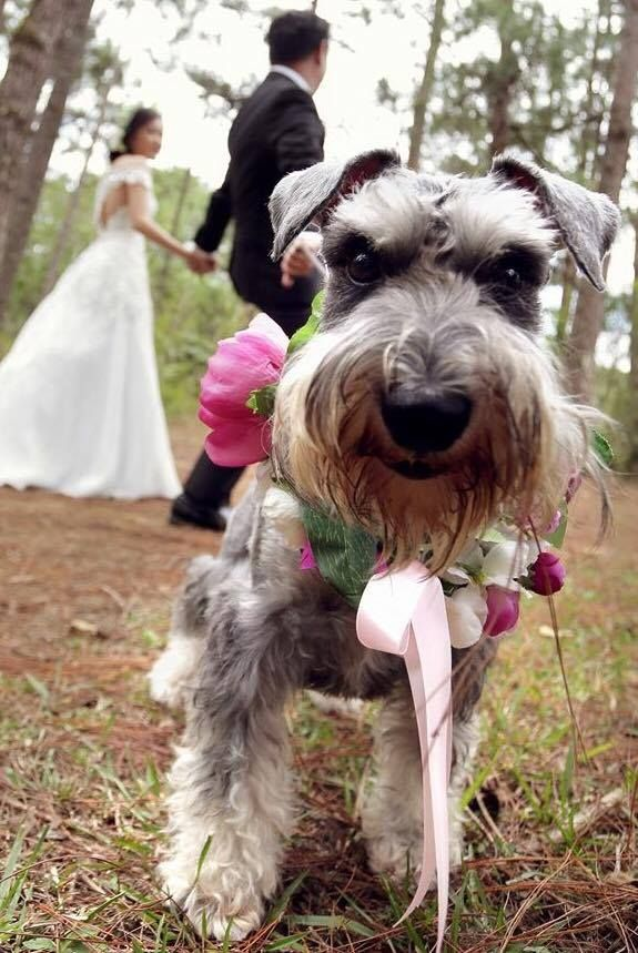 Wedding Schnauzer wearing a flower❤❤❤ garland❤🌸🌸🌸