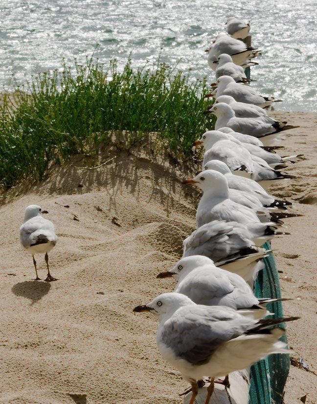 """Right troops...be ready to swoop at the first sight of fish and chips or a bag of crisps!""....Seagulls are common guests at the Dutch coast"
