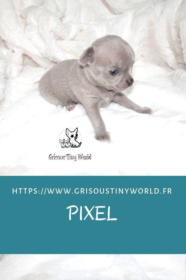 Pixelchiot Chihuahua De 3 Semaines Elevage Grisoustiny