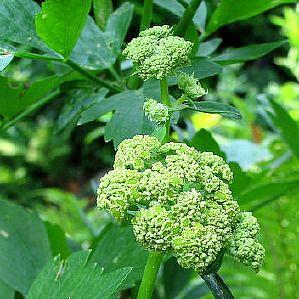 Lavas (Levisticum officinalis) of maggiplant is een kruidachtige plant uit de schermbloemenfamilie. De Romeinen verspreidden het kruid. De plant groeit op voedzame grond, is waterminnend en kan hoger dan twee meter worden. Lavas heeft holle stengels en grote schermen. Bladeren en zaden hebben een selderijachtige smaak. Bladeren worden gebruikt in stoofpotten, salades, sauzen en soepen. Het zaad wordt gebruikt om brood smaak te geven. Ik gebruik het met mate!