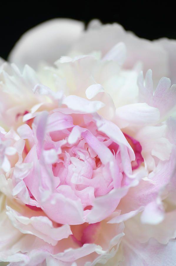 Jane Star Photography - Vanilla-pink Lace-3 by Jane Star  #JaneStar #Peony #Flower #ArtForHome #InteriorDesign #HomeDecor #FineArtPrints