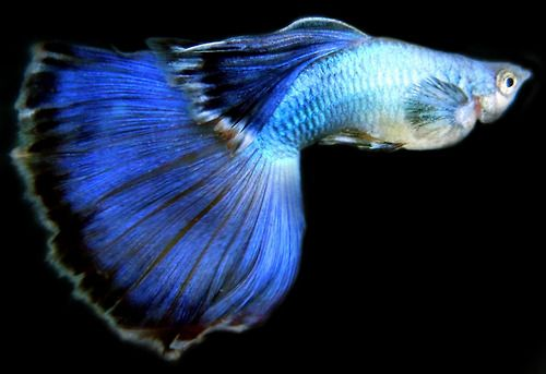Blue Guppy (m)
