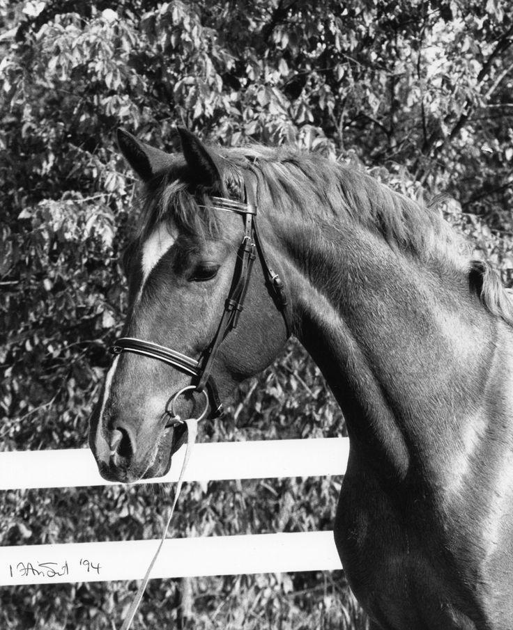 Hungarian Furioso horse: