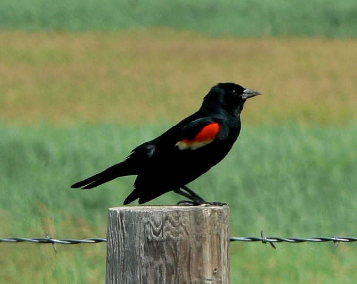 41 Best Images About Red Winged Black Bird On Pinterest