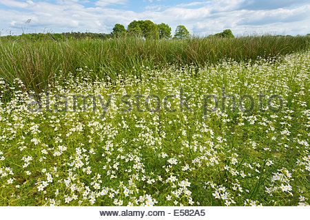Blooming Water Violets (Hottonia palustris), nature reserve Takern Stock Photo, Royalty Free Image: 9392704 - Alamy