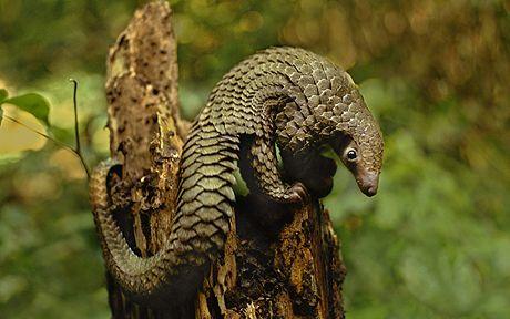 Long-tailed pangolin, Tribewanted, Sierra Leone