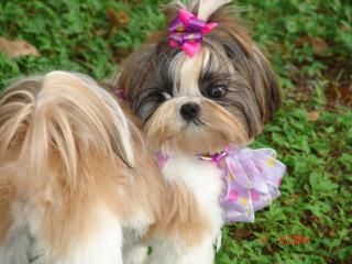Download Shih Tzu Baby 31865 Pets & Animals mobile wallpapers