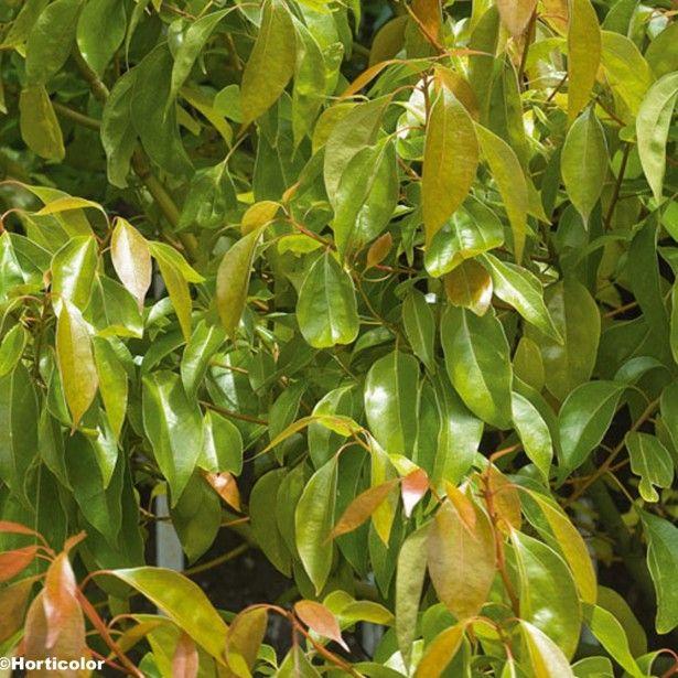 les 17 meilleures id es de la cat gorie arbre persistant sur pinterest plante persistant haie. Black Bedroom Furniture Sets. Home Design Ideas