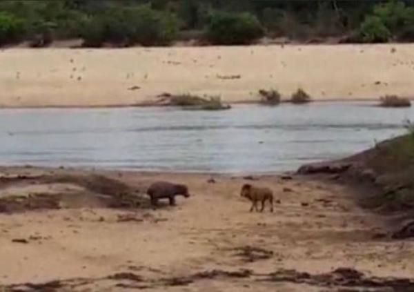 Selamatkan Induknya, Bayi Kuda Nil Ini Tantang Singa