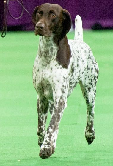 A German shorthaired pointer named CJ won the Westminster Dog Show on Tuesday, Feb. 16 — see the cute photos!