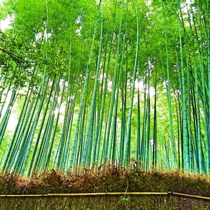 "59 Likes, 4 Comments - ue6minekon (@ume6minekon) on Instagram: ""#嵯峨野 #竹林 #嵐山 #竹林の道 #京都 #緑 #はなまっぷ #wp_flower #photo_jpn  #kyoto"""