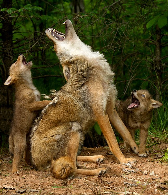 """Howling lessons - yes, a real photo - by Debbie DiCarlo, a longtime nature photographer, who says: """"I was attending a photography workshop in Hinckley, Minnesota, where I had the opportunity to take photos of adorable baby animals,"""" she wrote in an email to The Huffington Post. """"The coyotes were so playful and fun and when the adult started to howl, the glee in the faces of the pups was undeniably cute. My camera was clicking so fast I was worried about it overheating!"""""""