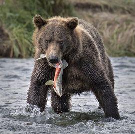 oso pardo, oso pardo, fotos grisáceo, marrón fotos del oso, vida salvaje de Alaska, osos de Alaska, Alaska fotos de la fauna, fotos del oso de Alaska, estados unidos fauna, estados unidos fotos de la fauna, katmai, parque nacional del katmai, la pesca del salmón, la pesca pardo