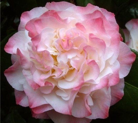 Nuccios Jewel Pink Camellia camellia japonica nuccios jewel Nuccios Jewel Spring Blooming Camellia is an evergreen shrub with white and coral pink variegated flowers that bloom in late winter to early
