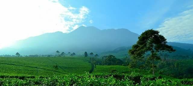 Tea garden Kemuning Central java - Indonesia