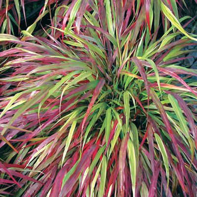"""One of the few grasses that thrives in part shade! Only 18-24"""" tall, its slender leaves form a fountain of bright green and then become suffused with crimson and purple in fall. Beautiful cascading down a shady bank or over a retaining wall. Likes evenly moist soil, but tolerates dry spells. Zones 5-9. 3"""" pot. Hakonechloa macra 'Beni-kaze'. -"""