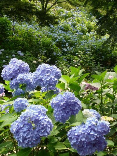 Hydrangea, flower of Kobe city, Japan | Kobe Municipal Arboretum  神戸市立森林植物園 神戸市の花 あじさい