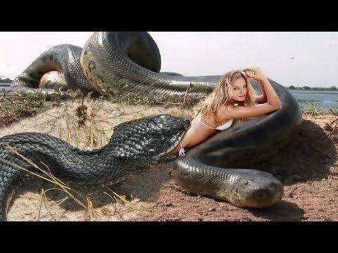 야생 동물 싸움 - 가장 큰 파이썬 뱀 공격 - 거대한 아나콘다의 공격 - 미친 동물 싸움 #1