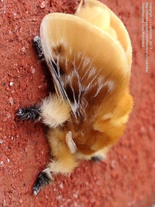 Southern Flannel Moth (Megalopyge opercularis)