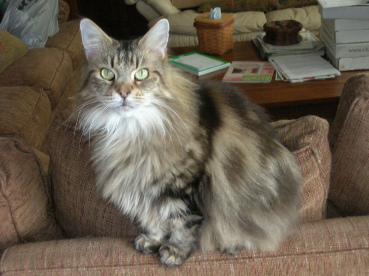 This is my Cleopatra, a Maine Coon.  She died Labor Day, Sept. 2, 2013.  She died of kidney failure.