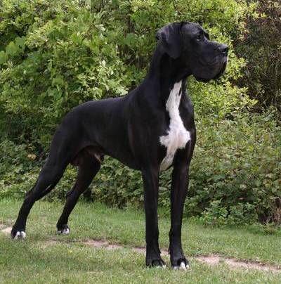 Deutsche Dogge                                                                                                                                                     Mehr