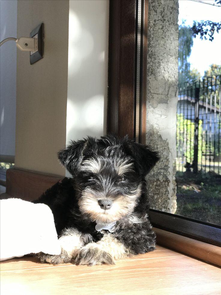 Vito #MiniSchnauzer Schnauzer Puppy