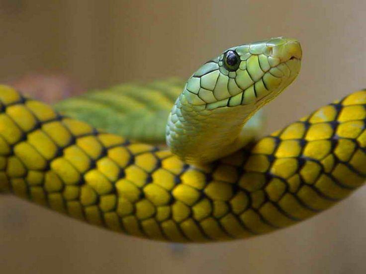 Significado de soñar con serpientes - http://xn--significadosueos-kub.net/significado-de-sonar-con-serpientes-2/ #sueños #soñar #significadoDeLosSueños