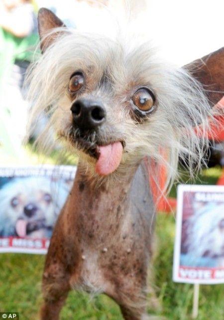 Miss Ellie, Espectacular Pseudo Chihuahua-Jirafa (Aunque Realmente Es Un Pequinés Crestado): Ganó La Edición De Perro Más Feo Del Mundo De 2007.