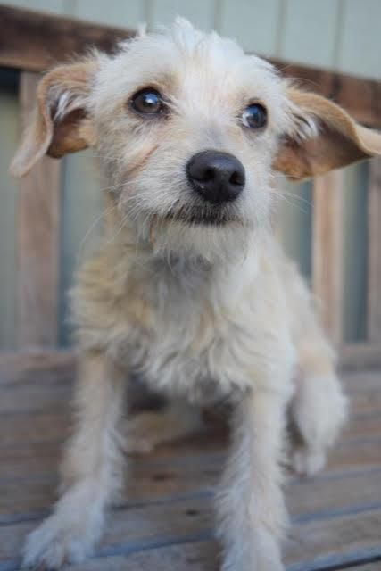 Adopt Tessa On Dog Adoption Wags And Walks Border Terrier