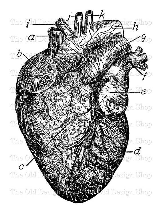 Anatomical Heart Clip Art Vintage Medical Illustration Digital Etsy Heart Clip Art Clip Art Vintage Anatomical Heart Drawing