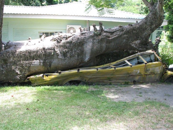 """Dominica Botanical Gardens//This African Baobab tree, nicknamed """"Goliath,"""" was felled by Hurricane David. It landed on a school bus which, thankfully. was empty at the time."""